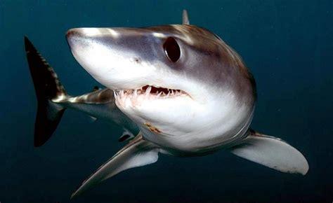 shortfin mako shark ocean treasures memorial library