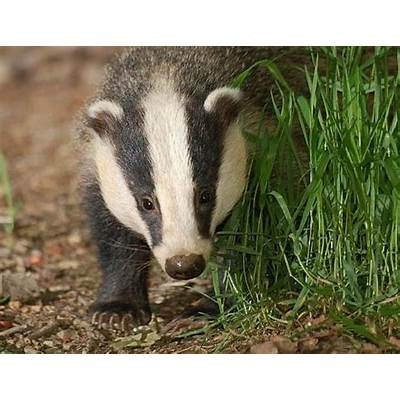 Badger Facts - Animal Encyclopedia