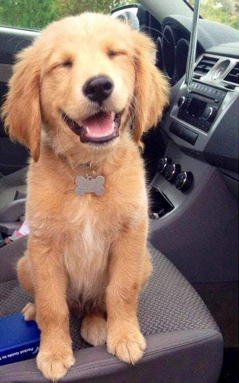 Happy Golden Retriever Puppy Aww And Lol Cats Lol