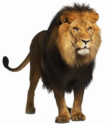 Animals Wild Animal Lion Transparent Pluspng