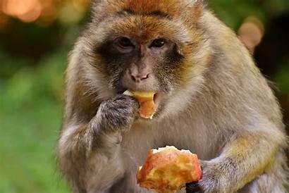 Monkey Eating Salem Eat Affenberg Killing Brown