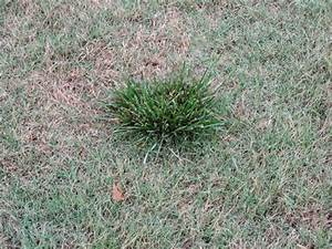 [kentucky bluegrass vs bermuda] - 28 images - help with ...