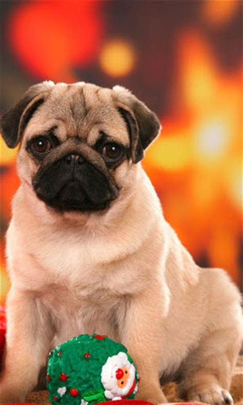 pug dog hd wallpaper gallery
