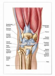 Anatomy Of Human Knee Joint Posters And Prints