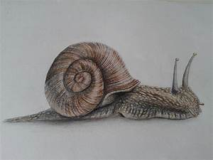 Snail Drawing - Cliparts.co
