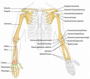 Arm Bones Diagram - Human Body Pictures