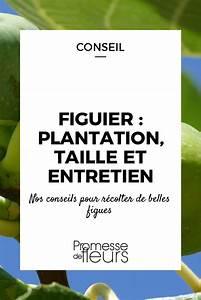 Comment Tailler Un Ficus : figuier plantation taille et entretien jardin potager ~ Melissatoandfro.com Idées de Décoration