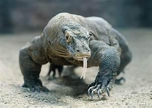 The Intimidating Komodo Dragon Varanus Komodoensis 6