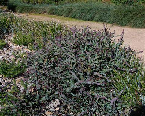 low height shrubs gardensonline acacia glaucoptera