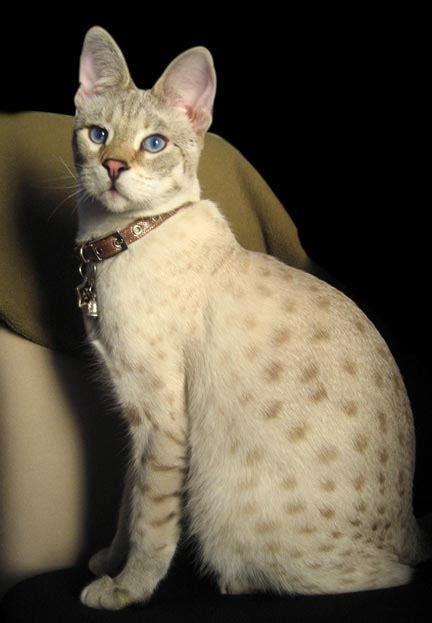 savanna cats testimonials halestone savannahs