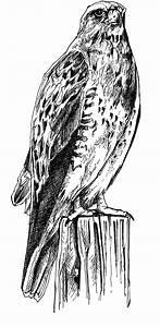 File:Black and white line art drawing of bird body.jpg ...