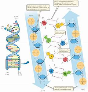 What Is Complementary Bases In Dna