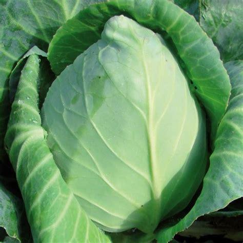 comment cuisiner le chou pointu le dictionnaire des légumes