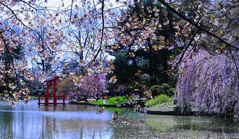 cherry blossom garden sakura matsuri cherry blossom festival at the brooklyn botanic garden someday places