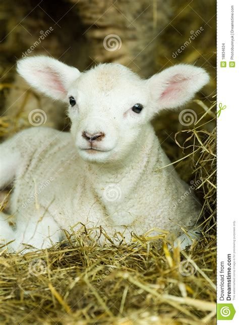 baby lamb stock images image