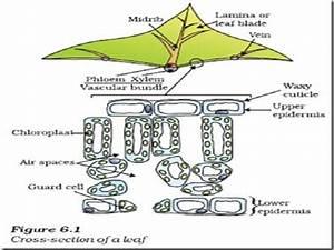Cross Section Of Leaf Ncert Diagram