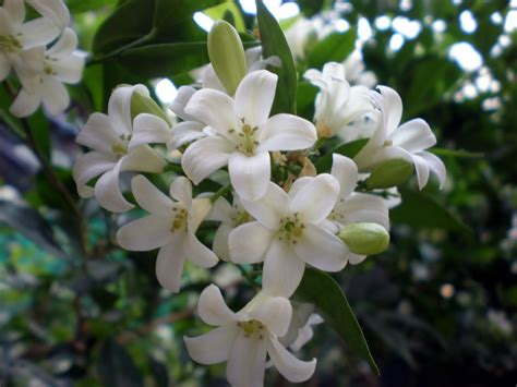 Maradhi Manni Some More Fragrant Flowers From Our Garden
