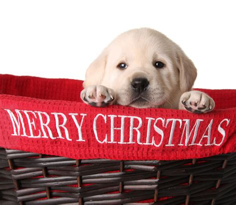 merry christmas pictures dogs 4 things to do right away with your christmas puppy robin