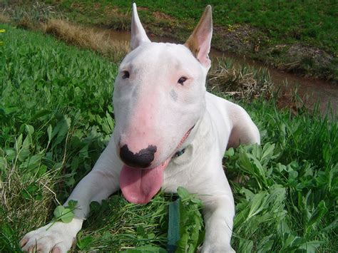 Bull Terrier Images Bull Terrier Pictures Of Dogs And All About