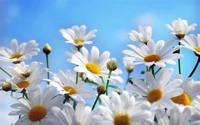 Daisy Background Wallpapers Flowers Lovely Cool Wallpapertag