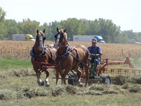 horses farming draft farm horse alfalfa early fashioned 1900 team 1900s cut raking field yard tag been animal