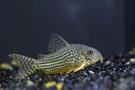 breeding cory catfish  aquarium club