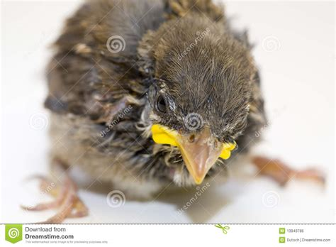 house sparrow chick royalty  stock image image