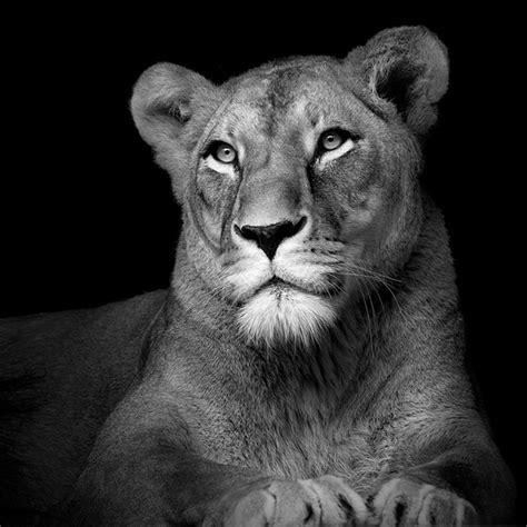 black  white animal portraits  lukas holas traveleering