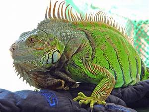 Iguana Facts And Truth