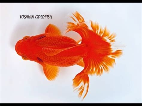 gold fish types   names youtube