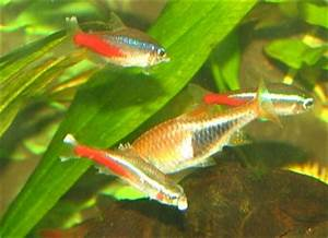 Neon Tetras with white lumps in mouth and fin roth