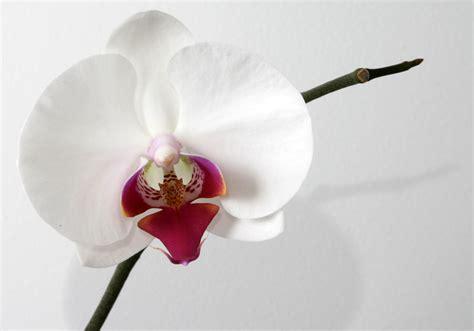 white phalaenopsis orchids  wallpaper