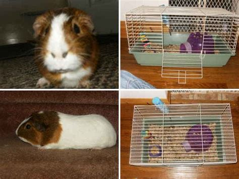 guinea pig bedding bulk adopt a guinea pig in pa nj ny wv ny craigslist two listings