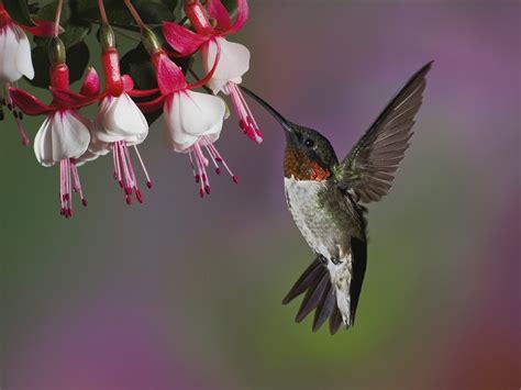 beautiful hummingbird hd wallpaper hd wallpapers