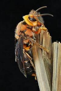 Fliegen Im Rolladenkasten : wespennest im rolladenkasten wespen hornissen pinterest ~ Lizthompson.info Haus und Dekorationen