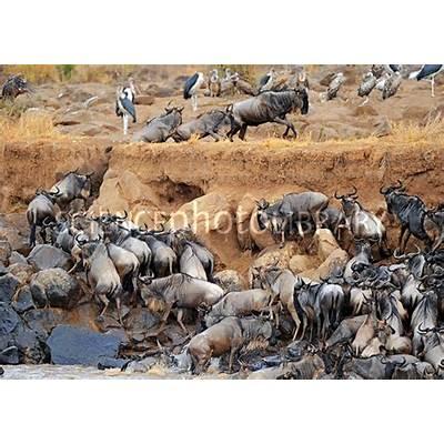 Blue wildebeest migration - Stock Image C018/9212