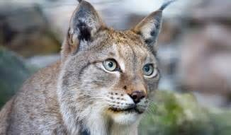 lynx cats lynx cats key facts information pictures