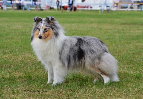 shetland sheepdog sheltie info puppies pictures