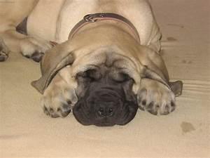 1000 images about mastiffs on pinterest hercules pets With mastiff dog door