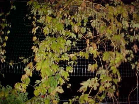 body grafted hops  pot   ethnobotanical garden shroomery message board