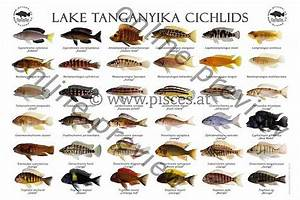 Lake Tanganyika Cichlids | Lake Fish | Pinterest | Lake ...