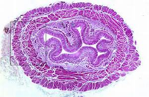 HLS [ Digestive System: Alimentary Canal, esophagus] LOW MAG
