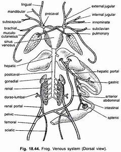 Venous System Of Frog  With Diagram
