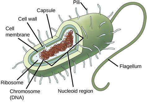 Comparing Prokaryotic Eukaryotic Cells Biology For