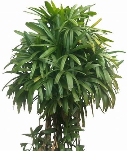Palm Plants Rhapis Excelsa Tropical Broadleaf Plant