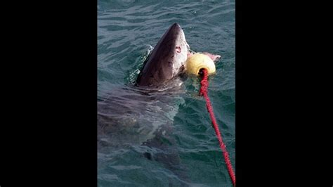 great white sharks surface   outer banks cbscom