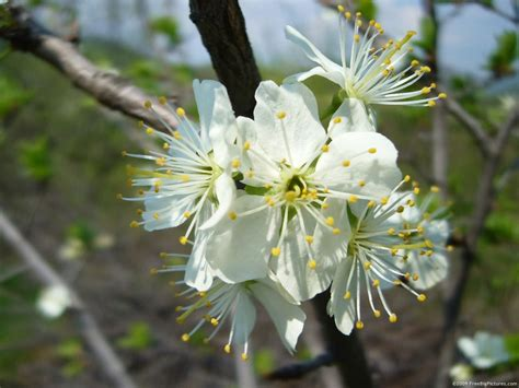 tree with white flower 28 best pictures of trees with white flowers file white flowering pear west virginia