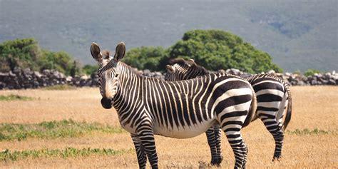 zebras  zuid afrika   travellers