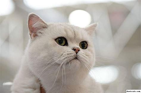 🐈 Balts britu kaķis - fotogrāfijas, šķirņu apraksts, raksturs
