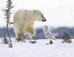 White Wolf : Mother Polar bear and her babies enjoy the ...